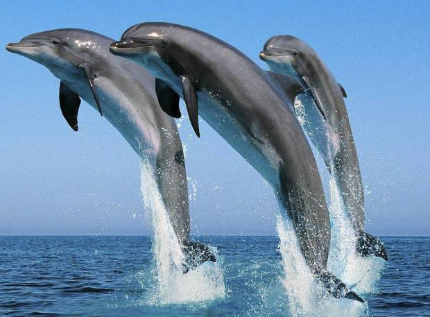 dolfijn dolfijnen