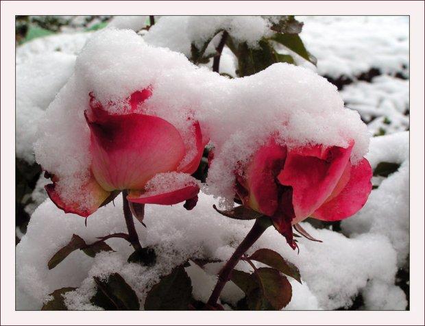 751596__snow-roses_p