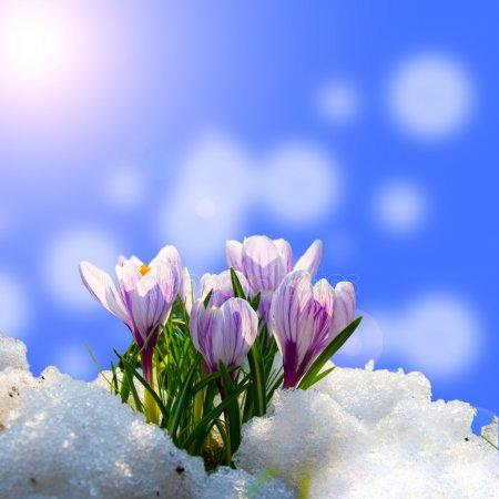 krokus-in-de-sneeuw